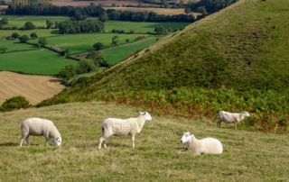 sheep caer caradoc