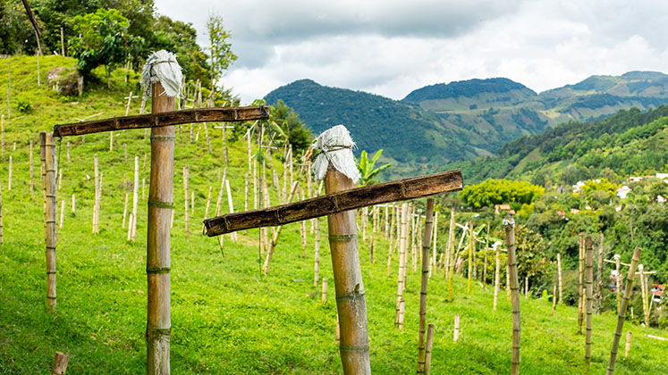 Bamboo crosses in an informal graveyard cover the hillside of Antioquia, Colombia