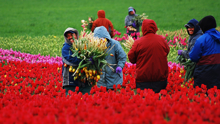 Tulip-picking migrant workers in Skagit Valley, Washington, USA