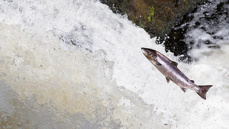 An atlantic salmon jumping up a waterfall