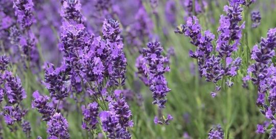 Lavender fields in full bloom