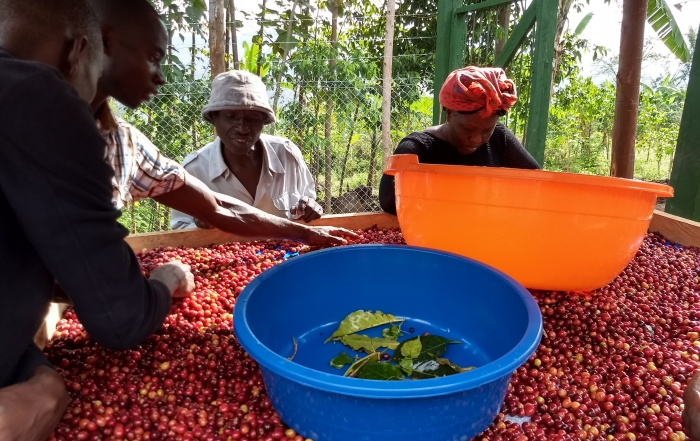 Fighting Poverty by Incentivising Quality: working with smallholder coffee farmers in Uganda
