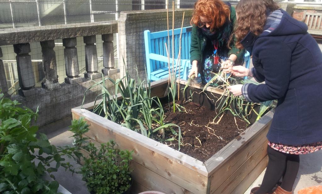 LSE rooftop gardening harvest